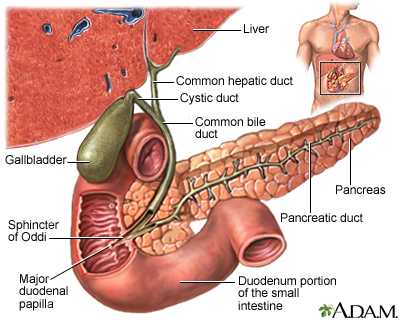 common bile duct cystic duct. the common bile duct,